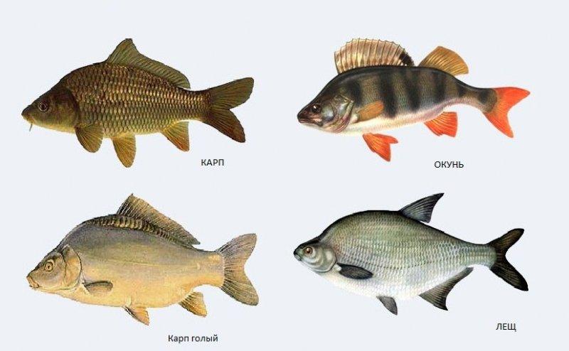 Виды рыб самарской области в картинках
